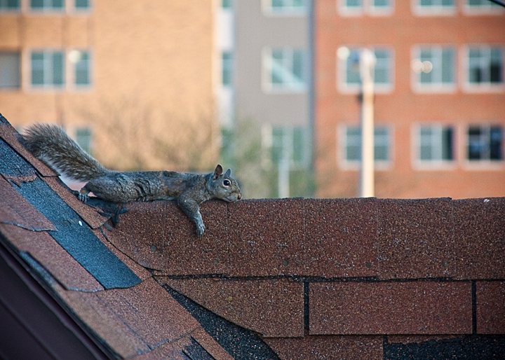 Looks like this squirrel was really enjoying this place on the roof to relax.  The squirrel stayed there for quite some time.